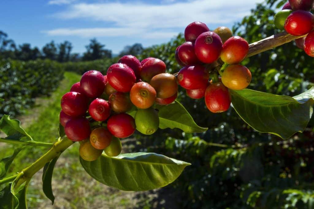 Koffiebonen aan een boom